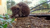 cravado : A hedgehog standing in the garden. Vídeos