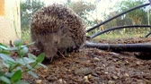 thorns : A hedgehog eating a little piece of bread.