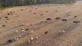 touro : A large herd of livestock grazing in a meadow at sunset. Aerial view. Stock Footage