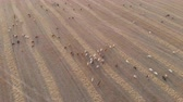 vacas : A large herd of livestock grazing in a meadow at sunset. Aerial view. Stock Footage