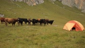 gözcü : A herd of cows stands near the tent city.
