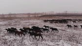 запустить : A herd of wild horses running on a snow-covered field. Стоковые видеозаписи