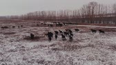 запустить : Aerial view of horses running on the field in winter.