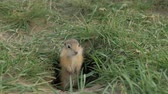 грызун : Close-up gopher crawls out of his hole. Стоковые видеозаписи