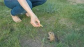 грызун : Earth squirrel eats from the hands of a tourist.