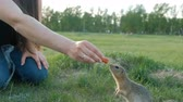 грызун : Woman feeding squirrel in the park. Gopher takes the food out of hand. Kindness and care for animals. Стоковые видеозаписи