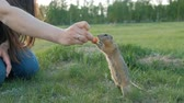 грызун : Close-up of a womans hand feeding vegetables little gopher. Стоковые видеозаписи