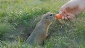 грызун : The gopher crawls out of the hole and grabs the carrot from the womans hands. Стоковые видеозаписи