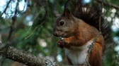 грызун : Squirrel eating cookies sitting on a branch in the woods.