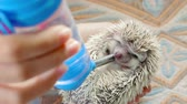 frasco pequeno : Girl trying to water a hedgehog, hedgehog drinking a water