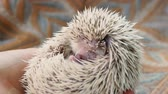 крикет : Close-up of a funny hedgehog that eats a cricket