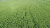 граница : Aerial drone view of Large Hemp field in the summer