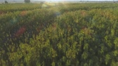 граница : Aerial view of Endless Hemp plantation outdoors at sunset