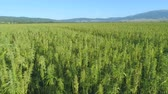 граница : Large field of industrial hemp plants, hemp being produced for fiber production and soil improvement