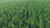 граница : Narcotic cannabis plants growing in endless marijuana plantation outdoors. Large narco fields of illegal marijuana drug growing under sun. Medicinal and recreational hemp plants cultivation