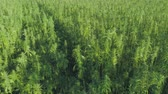 граница : Medical cannabis plantation, close view of bright green hemp plants