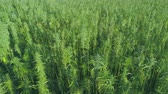 граница : Close view of beautiful green hemp field in the summer Стоковые видеозаписи