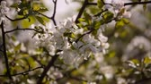 Video FHD. Flowering branches of fruit trees apricots, cherries, plums swaying in the wind in the garden in the spring