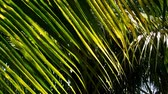 glow : Sun shining through the coconut tree leave in thailand