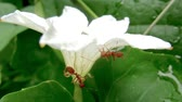 cohesion : two red fire ants under a white flower