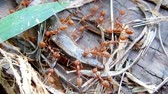 picar : Red fire ants teamwork to hunting a skink
