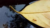 picar : Leaf and fire ant floating on water surface