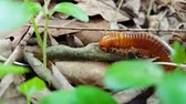 close up : Millipede enjoy eating