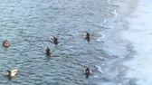 pato real : Ducks In A Frozen River