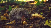 snout : Hedgehog in the foliage