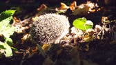 parting : Hedgehog creeps into grass Stock Footage