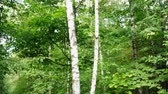 hiking trail : White birch in the forest Stock Footage