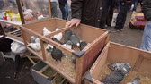 pomba : Pigeons, doves, columbas and other kind of caged wild birds are waiting their new owners inside of cages behind of iron meshes at a street market on a cold day. Bird fanciers are searching a special bird or kind on the bird bazaar. Vídeos
