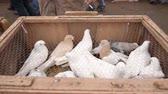 fancier : Pigeons, doves, columbas and other kind of caged wild birds are waiting their new owners inside of cages behind of iron meshes at a street market on a cold day. Bird fanciers are searching a special bird or kind on the bird bazaar. Stock Footage