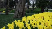 catching the wind : Beautiful scene of decorated yellow tulips garden, Istanbul, close up, tulips festival, sunny, happy