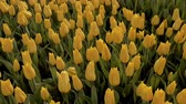 catching the wind : Yellow tulips, Istanbul, close up, tulips festival, sunny, happy
