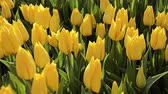 catching the wind : Yellow tulips, Istanbul, close up,tulips festival, sunny, panning, happy