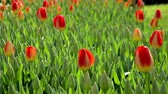 catching the wind : Red, baby, bulb, tulips, Istanbul, close up, tulips festival, sunny Stock Footage
