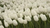 catching the wind : White tulips, Istanbul, close up, tulips festival, sad ambiance