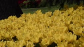 catching the wind : Field of yellow Ottoman tulips, Istanbul, close up, tulips festival on a sunny day