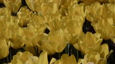 catching the wind : Yellow tulips close up, sunny day