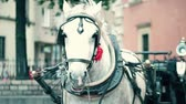 waggon : Harnessed dapple gray horse on the street Stock Footage