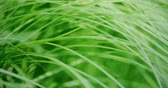 ecological : Waving blades of green grass. Macro, slow motion shot on Red camera Stock Footage