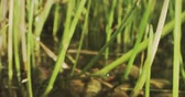 wetland : Green grass, spider web and shallow water travelling macro shot on Red camera Stock Footage
