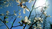 サンシャイン : Blooming white magnolia tree in the spring.