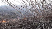deprem : On the field burning dry grass. Footage. Burning of straw on the field. Fire, Burning old grass in the field