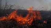 land pollution : On the field burning dry grass. Footage. Burning of straw on the field. Fire, Burning old grass in the field