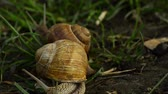 hera : Helix pomatia also Roman snail, Burgundy snail, edible snail or escargot, is a species of large, edible, air-breathing land snail, a terrestrial pulmonate gastropod mollusk in the family Helicidae.