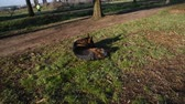 comando : German shepherd dog walking at the park in Rome
