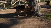 cane pastore : German shepherd dog walking at the park in Rome