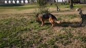 obediência : German shepherd dog walking at the park in Rome